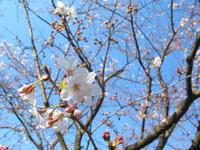 学校の桜も今週末の入学式に合わせて咲きそろうようです