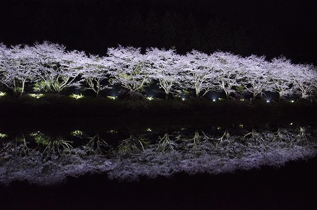 水面に写る夜桜を見に武雄市赤穂山の八天桜へ行ってきました。