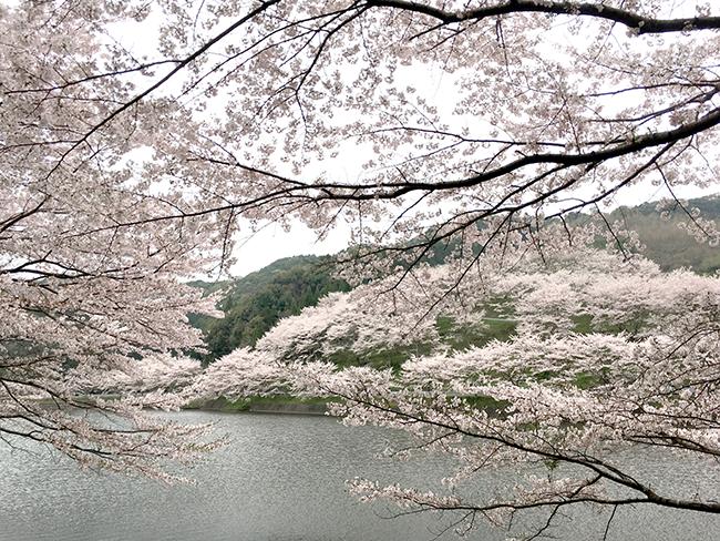 まさに零れ桜、庭木ダムへ行ってきました。