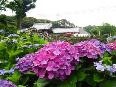 あじさい寺の紫陽花が満開を迎えます!