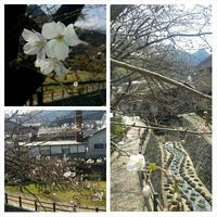 桜の開花~秘窯の里・伊万里大川内山